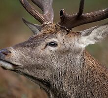 Red Deer Stag walking by... by Sarah Weston