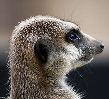 Meerkat portrait by Joanne Emery