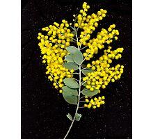 Wattle, flower scan. Photographic Print