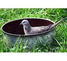 Spotted Turtle Dove bath Photographic Print