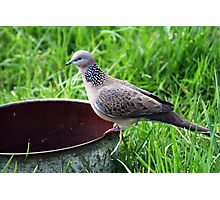 Spotted Turtle Dove  Photographic Print