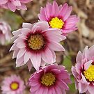 Rhodanthe chlorocephala subspecies rosea, Pink and White Everlasting by Emma Sterling