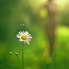 Chrysanthemum leucanthemum by PhilNeff
