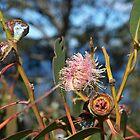 eucalyptus flower by owuro