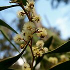 Wattle in flower by owuro