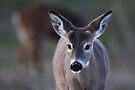 Pretty doe - White-tailed Deer by Jim Cumming