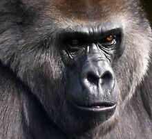 Gorila Portrait by David Odd