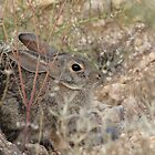 Desert Cottontail ~ A.K.A. Audubon's Cottontail by Kimberly P-Chadwick