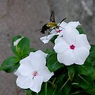 Snowberry Clearwing on Vinca by CarolD