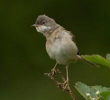 Whitethroat by Richard Bond