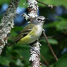 blue headed vireo by jamesmcdonald