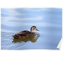 Australian Wild Duck Poster