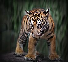Young Tiger by Manfred Belau
