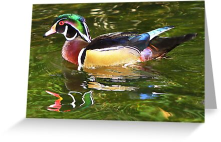 Wood Duck ~ Male by Kimberly Chadwick