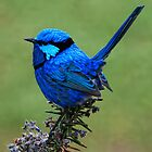 Splendid Wren  by Andy and Von Quinn