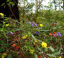 Spring wildflowers in the Karri forests of south-west WA by binkih