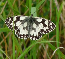 Marbled white butterfly by Pauline-W