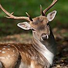 Fallow stag resting by Sarah Weston