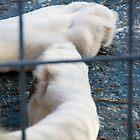 White Lion's paws - Zoo Arcachon by Melanie PATRICK