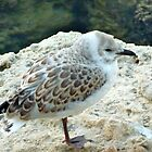 baby seagull by SUBI