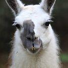 llama (Lama glama) 2 by DutchLumix
