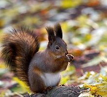 Autumn Squirrel by Sergey Bezberdy