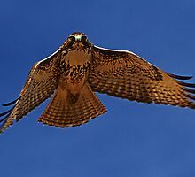 110510 Red Tailed Hawk by Marvin Collins