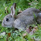 Young Wild Rabbit by MendipBlue