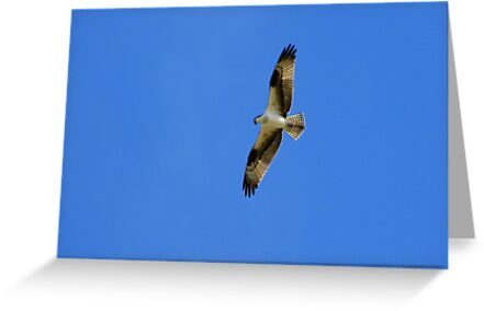 Osprey  by Kimberly Chadwick