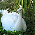 Indian Peafowl ~ Leucistic Male by Kimberly P-Chadwick