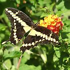 Butterfly ~ Giant Swallowtail by Kimberly P-Chadwick