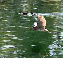 Juvenile Black-crowned Night Heron Flight by Sherry Pundt
