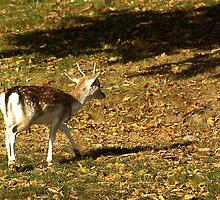 Young Buck - Fallow Deer by Trevor Kersley