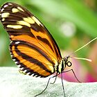 *HELICONIUS HECALE* *the TIGER LONGWING BUTTERFLY* by Johan  Nijenhuis
