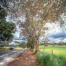 Gum Tree Dreaming - Blakiston Road, Blakiston, Adelaide Hills by Mark Richards