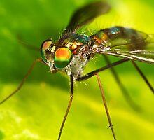 Dolichopodid Fly by Andrew Widdowson