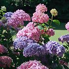 Hydrangea - The Gorge Launceston by Erica Morse