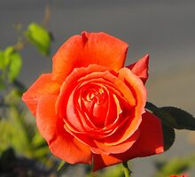 Peach Rose by ElsT