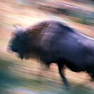 European bison running by intensivelight