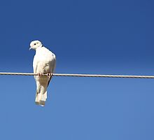 Leucistic Eurasian collared dove by Sherry Pundt