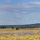 Panorama hay Bales GRENFELL NSW by julie anne  grattan