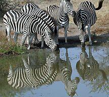 Herd of zebra drinking by jozi1