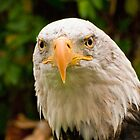 Bald Eagle 2 by Sue Ratcliffe