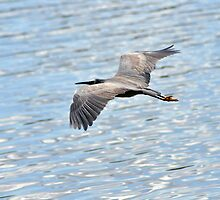 White faced heron skimming the lake by kathiemt