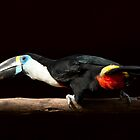 Red-billed Toucan by ammit
