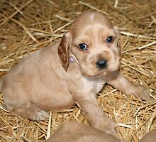 Cocker Spaniel Pup  by aussiebushstick
