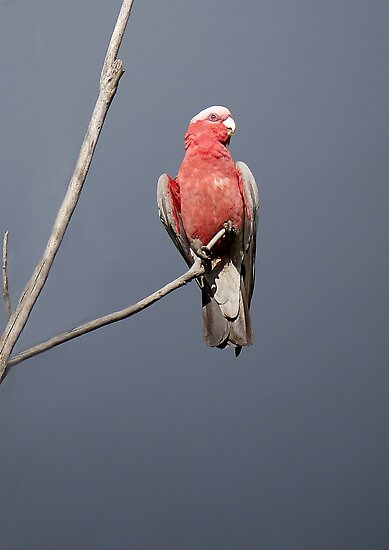 Australian Galah by SharonD