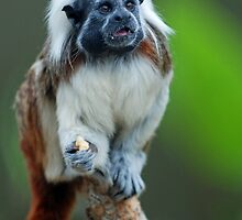 Cotton Top Tamarin by Brad Francis