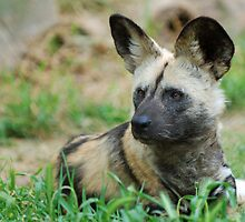 African Wild Dog by Brad Francis