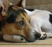 Max -Jack Russell Terrier by Browneyedgirl78